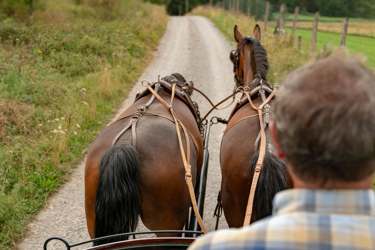 Two saxon thuringian heavy warm blood pull a carriage into green landscape. 2 horses