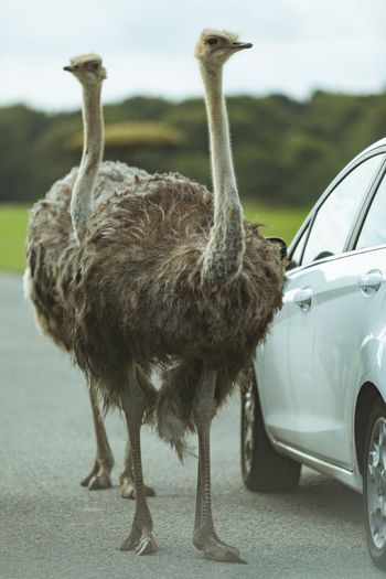 Ostrich patrol on the road Animal Themes One Animal Car Animals In The Wild Road Transportation Animal Wildlife Outdoors Day Land Vehicle Standing Bird No People Nature Mammal Sky Close-up Ostrich Patrol  Road Animal Nature Nature Meets Civilization Fresh On Market 2017