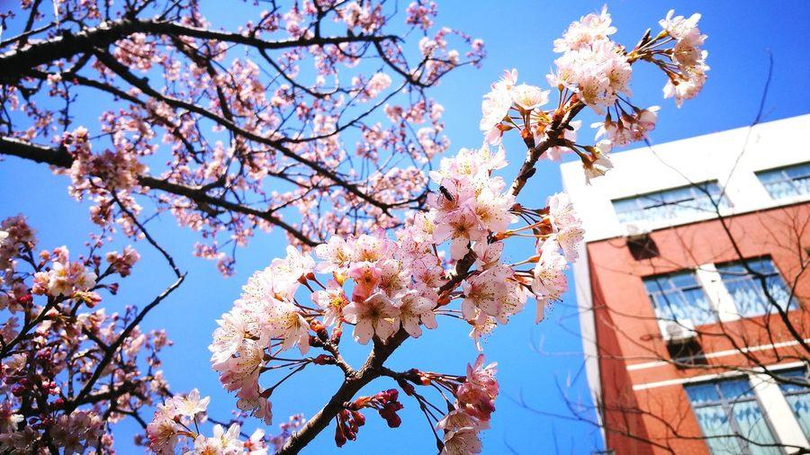 Flower Tree Springtime Blossom Growth Nature Beauty In Nature No People Freshness Day Cherry Blossom Cherry Tree Sakura Shanghai, China