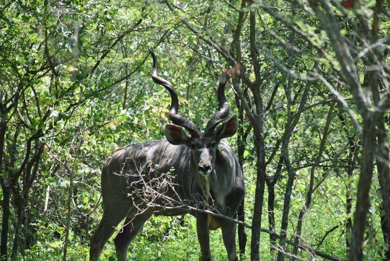Nature Beautiful buck Kudu marloth