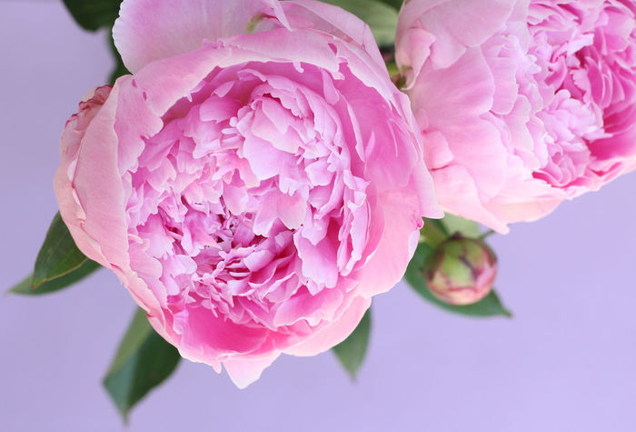 peonies make me so happy Poenies Peony  Flowers Flower Photography Flowers,Plants & Garden Flowers, Nature And Beauty Beautiful Pretty Nature Pinkpeonies Pinkpeony