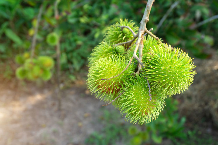 Green rambutan that is not yet ripe on rambutan tree. Rambutan Not Ripe Green Nature Fruit Background Fresh Natural Tropical Sweet Food Delicious Healthy Closeup Organic Colorful Thailand Agriculture Tree Diet Dessert Leaf Plant Tasty Hair Thai Season  ASIA Freshness Summer Juicy Nutrition Garden Health Color Exotic Texture Vitamin Asian