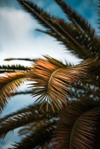 Beauty In Nature Close-up Coconut Palm Tree Coniferous Tree Day Focus On Foreground Frond Green Color Growth Leaf Leaves Nature No People Outdoors Palm Leaf Palm Tree Plant Plant Part Selective Focus Sky Tranquility Tree Tropical Climate