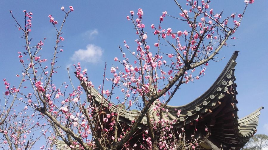 Sky Nature Outdoors Sunlight Growth Tree Beauty In Nature No People Day Plum Blossom