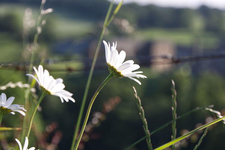 Daisies Summer