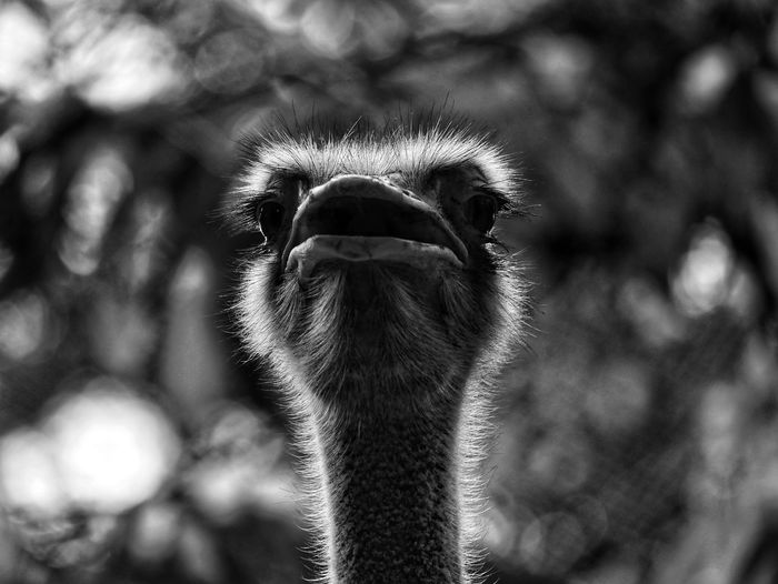 Close-up portrait of ostrich outdoors