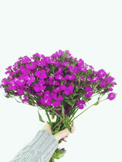 Cropped image of woman holding magenta flowers bouquet against white background