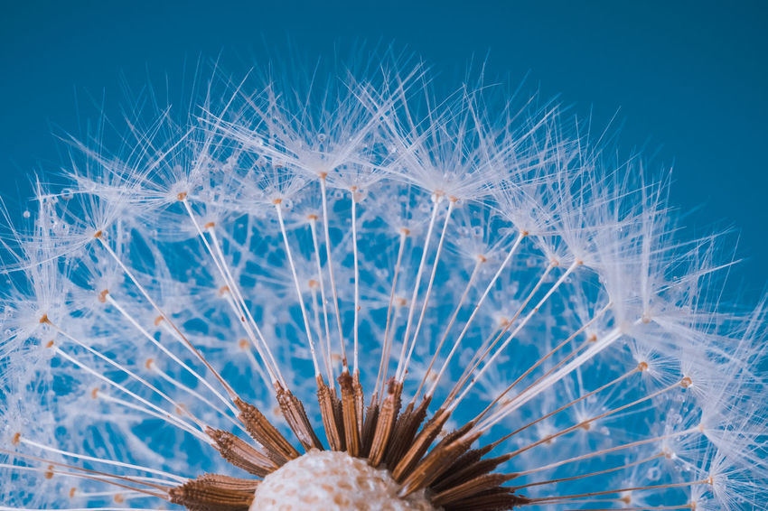 Dandelion in blue Beauty In Nature Blue Close-up Day Detail Drops Flower Flower Head Fragility Gently Macro Nature No People See Seeds Softness Studio Shot Summer Vibrant Color Water Water Drops White