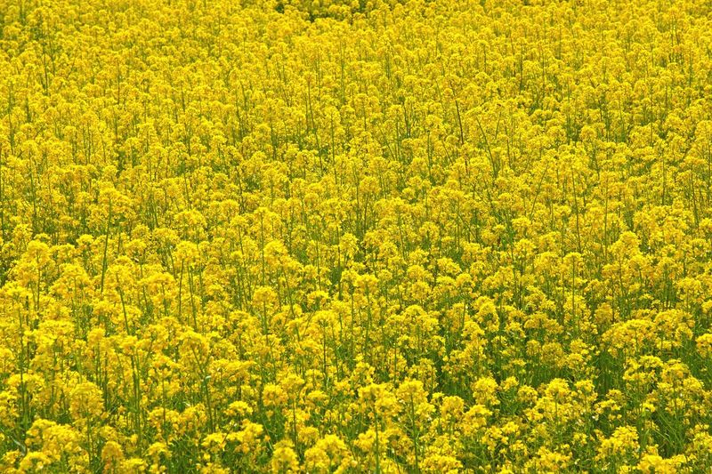 Full frame shot of fresh yellow flower field