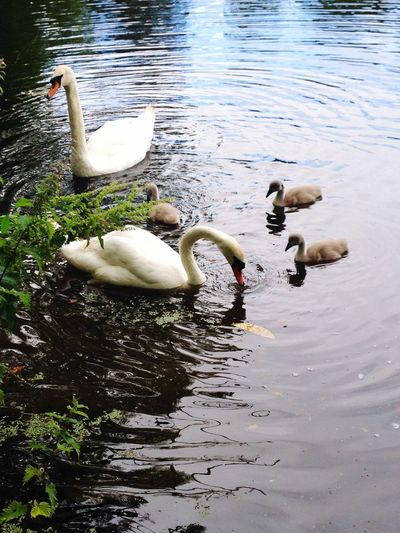 Lake Animals In The Wild Swan Young Bird Water Animal Family Togetherness Nature Cygnet Outdoors National Trust 🇬🇧