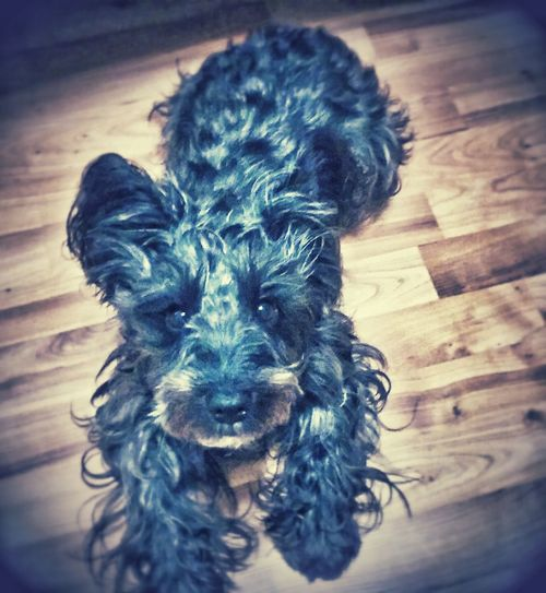 Blues Brighteyed I Love My Dog Vibrant Colors Beauty In The Simple Things Captured Beauty Eyeem Photography Animal Themes Indoors  Eyeemdog Shadows & Lights Black Miniature Schnauzer
