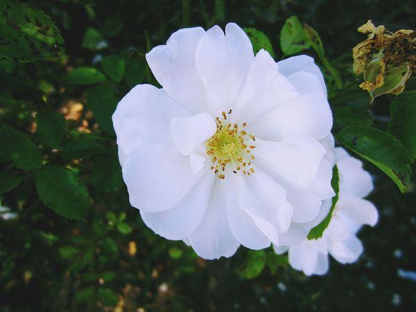 Wild White Rose Flower Flowerforfriends Floralperfection