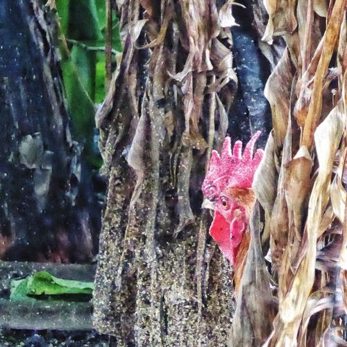 Rooster Beauty In Nature Peeking Looking Out Outdoors