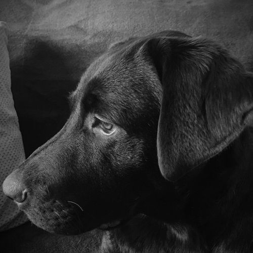 Chocolate Labrador Puppy Black And White Blackandwhite Dog Pets Close-up Portrait Side View Profile Indoors  Cute Six Months Close Up Closeup Inside Adorable Healthy Pet No People Nobody Domestic Animals One Animal Mammal Day