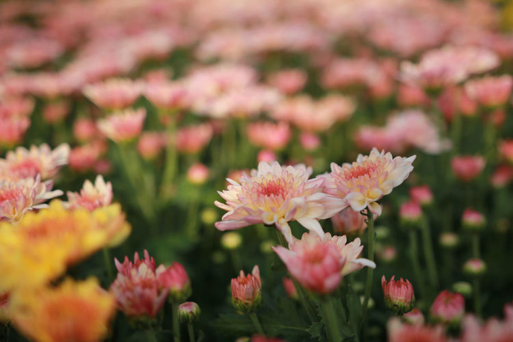 Close-up of pink chrysanthemums blooming outdoors