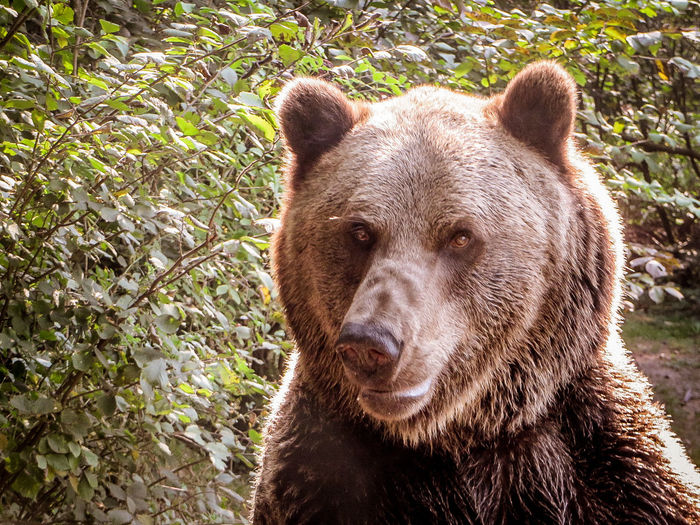 Animal Wildlife Animals In The Wild Bear Close-up Intriguing Portrait Sunlight