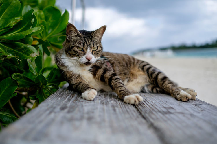 Portrait of cat sitting on wooden plank at beach