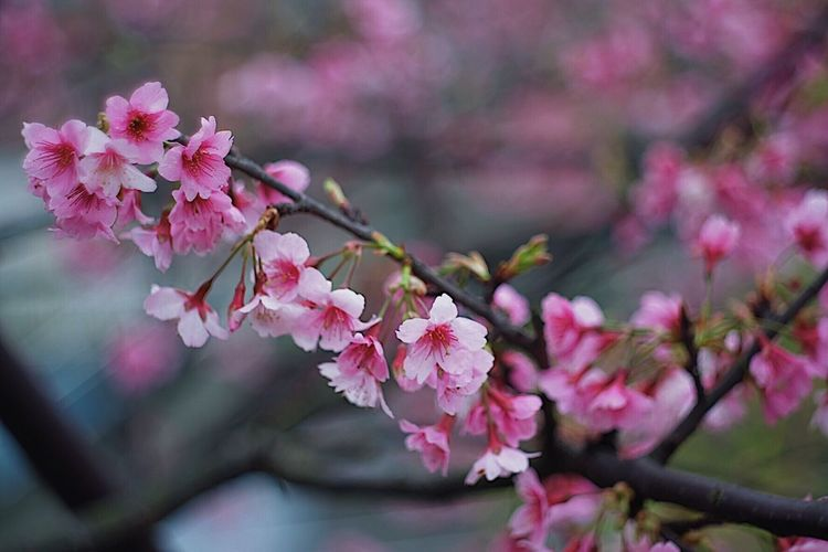 SAKURA Flower Flowering Plant Pink Color Fragility Plant Beauty In Nature Freshness Blossom Growth Springtime Focus On Foreground Cherry Blossom Nature Day Tree