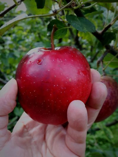 Homegrown Fruits Red Apple Red Apple Tree Picking Apples