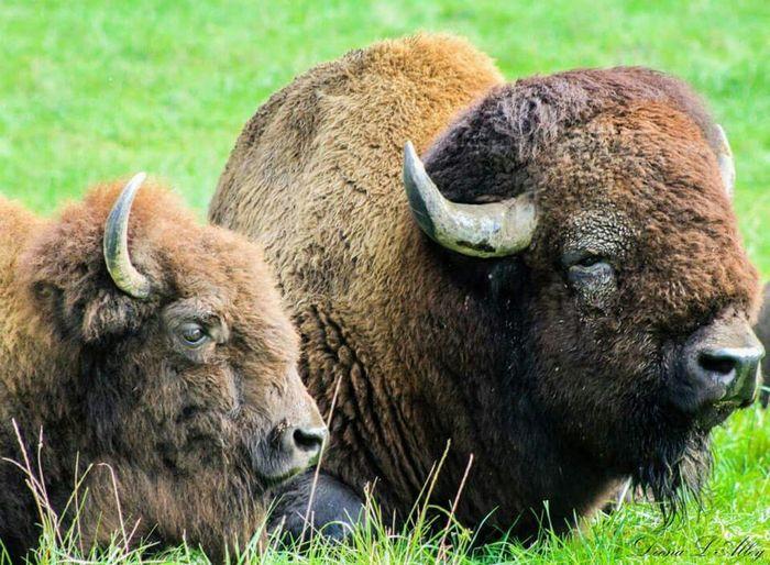 Bison Wildlife Northwest Trek