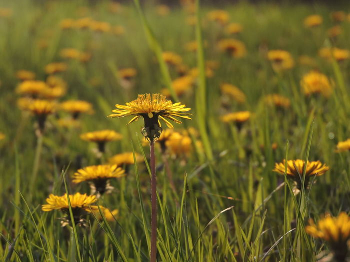 Dandelions Flower Flowering Plant Plant Fragility Freshness Vulnerability  Growth Beauty In Nature Yellow Flower Head Inflorescence Field Petal Land Close-up Nature Focus On Foreground No People Day Green Color Outdoors Pollen