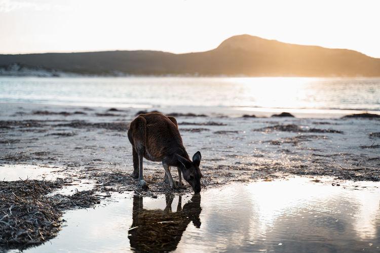 View of kangaroo on beach