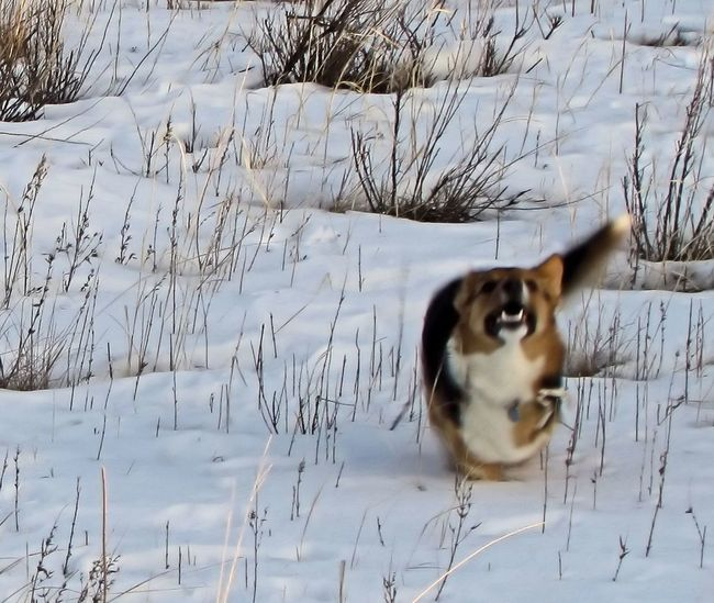 Bare Tree Cold Cold Temperature Corgi Corgi :) Day Depth Of Field Dog Dog❤ Field Forest Grass Growing Growth Nature No People Outdoors Plant Relaxing Selective Focus Snow Tranquility Weather Welsh Corgi Winter