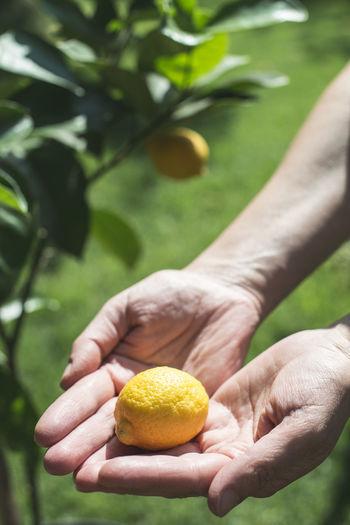 Close-up of hand holding lemon