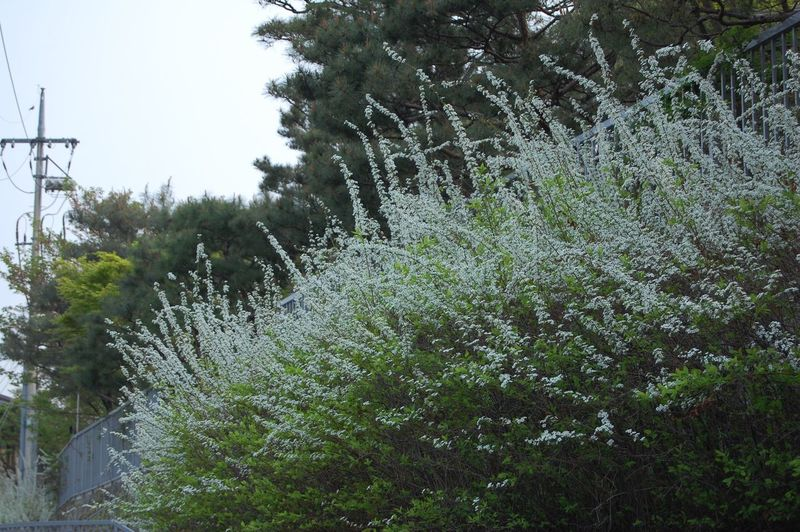 Baby's breath Warm Samcheongdong Southkorea Babysbreath Babysbreathflower Growth Nature Tree Plant No People Day Outdoors