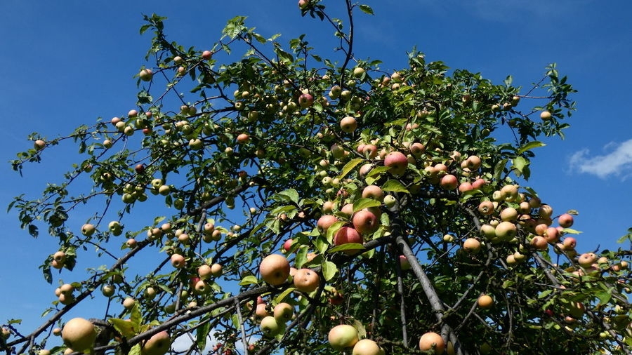 Beauty In Nature Branch Day Food Food And Drink Freshness Fruit Fruit Tree Green Color Growth Healthy Eating Leaf Low Angle View Nature No People Outdoors Plant Plant Part Ripe Sky Tree Wellbeing