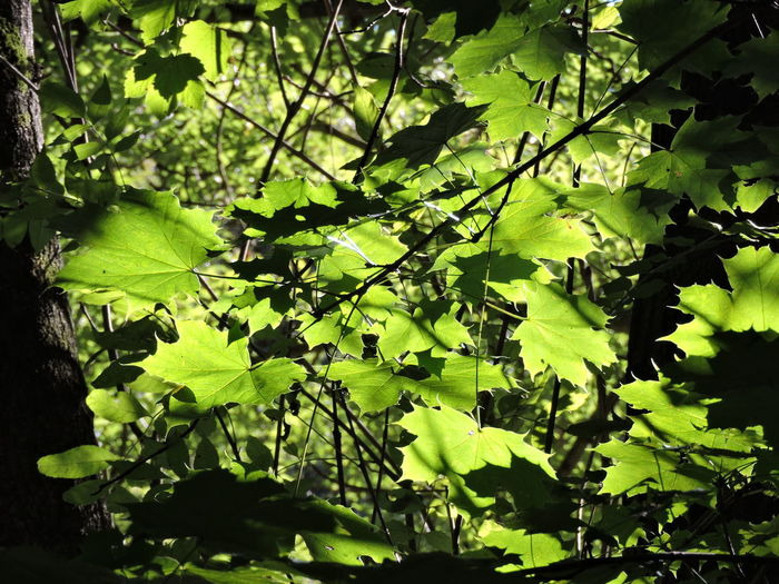 Blätter In Sonne Sonne Und Schatten ☀️ Beauty In Nature Botany Close-up Day Foliage Green Growth Leaf Leaves Nature No People Outdoors Plant Spring Sun Vegetation