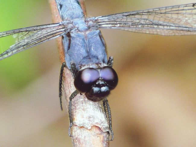 Dragonfly Dragonfly💛 One Animal Close-up Insect Insect Photography Insect Theme Big Eyes Blue Insect