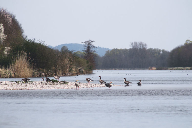 Birds in lake against clear sky