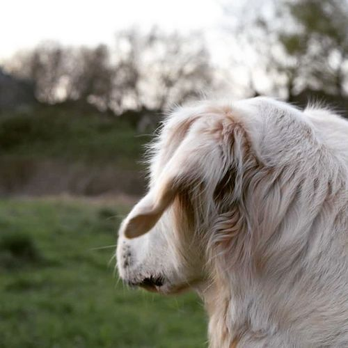 Hugi Goldenretriever Labrador LabradorRetriever Golden Retriever Blond Blondi Blonde Dog Dogoftheday Dogofinstagram Dogofinsta bestdog Sun Summertime Justlabradors