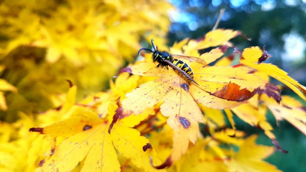 Let it bee! Insect Beauty In Nature Yellow Close-up Outdoors Nofilter Bees Bees Photography Fall Beauty Fall Colors Nature Daytime Fall Leaves Seasons Change NaturezaMaravilhosa Abelhas Fotografia Photography Photographylovers Parques  Insetos