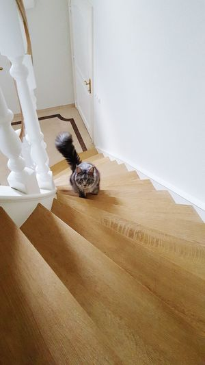 Louie Cat Maine Coon Cat Home Improvement Home Interior DIY Hardwood Floor Paint Roller Flooring Renovation Home Showcase Interior Interior Designer