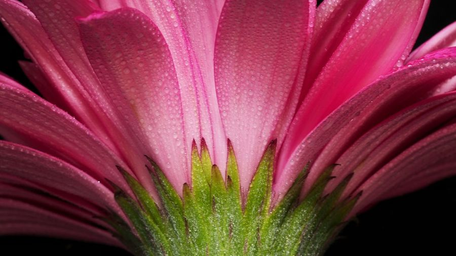 Close-Up Of Wet Pink Flower Against Black Background
