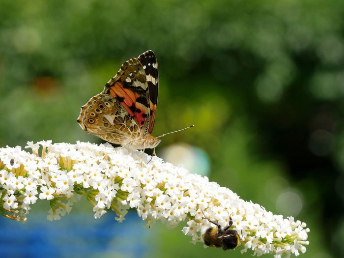 Close-up of butterfly and bee on flower