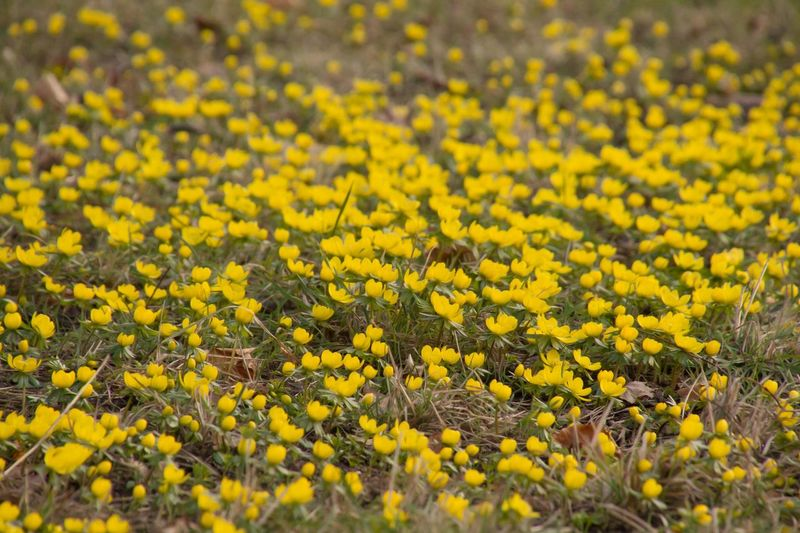 A Meadow full of Winter aconite Springtime Flowers Yellow Flower Abundance Beauty In Nature Day Field Flower Flower Collection Flower Photography Fragility Freshness Growth Landscape Nature No People Outdoors Springtime Springtime Blossoms Winter Aconite Yellow