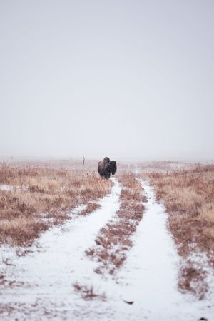 Bison Winter Nature No People Cold Temperature Snow Animal Themes Outdoors Animals In The Wild Tranquil Scene Scenics Moody Landscape Beauty In Nature Colorado Travel Destinations Wild Vista Adventure Winter Ice Freshness Bison The Great Outdoors - 2017 EyeEm Awards Perspectives On Nature