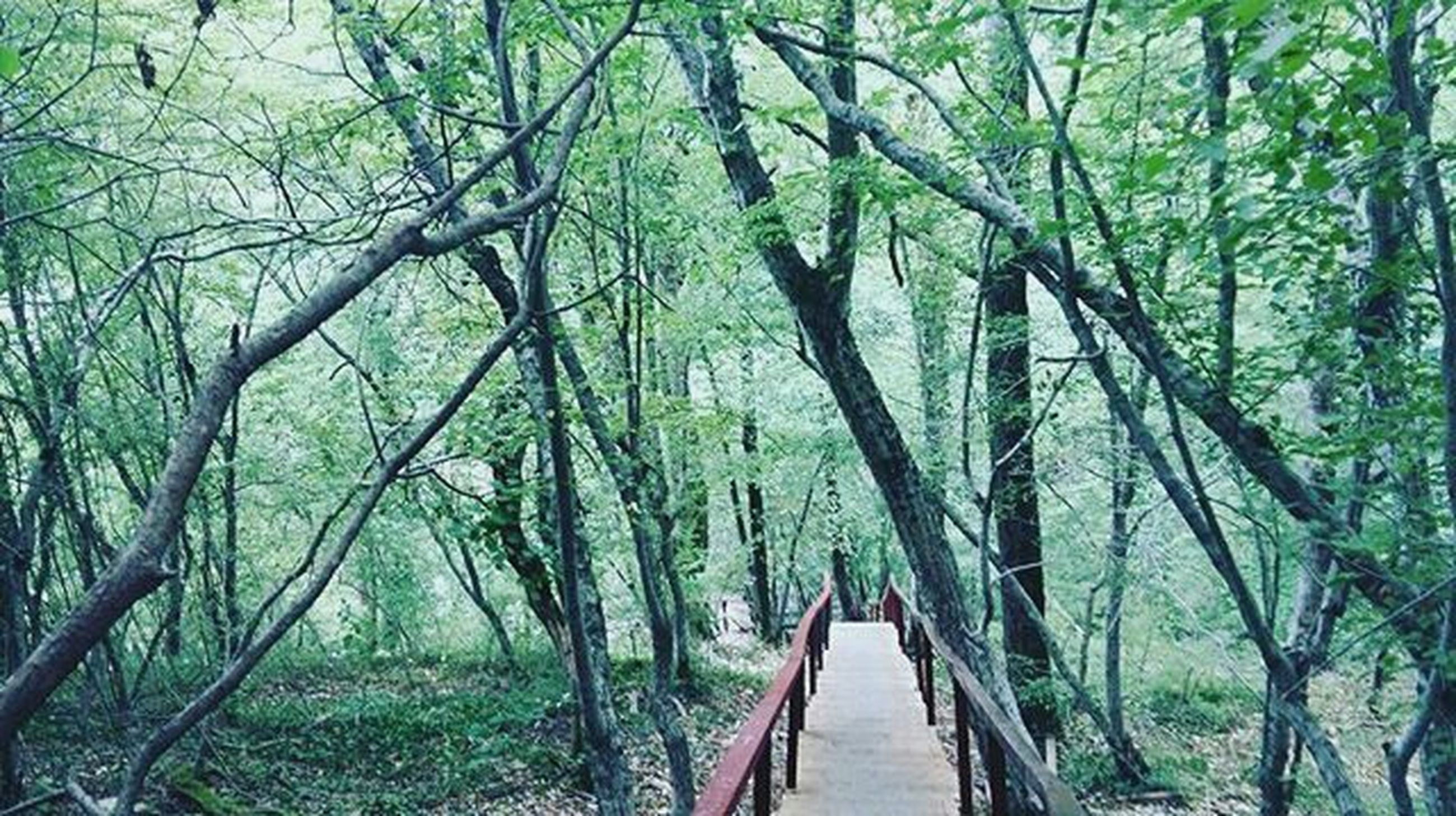 tree, rope bridge, nature, tranquility, green color, growth, outdoors, beauty in nature, day, forest, the way forward, no people, connection, bridge - man made structure, bamboo grove, lush - description