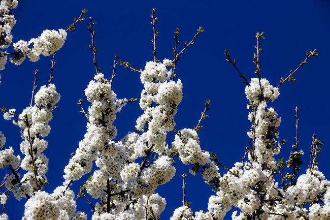 cherry blossoms Cherry Cherry Blossom Tree Cherry Blossoms Tint Blooming Blue Sky Cherry Tree Spring