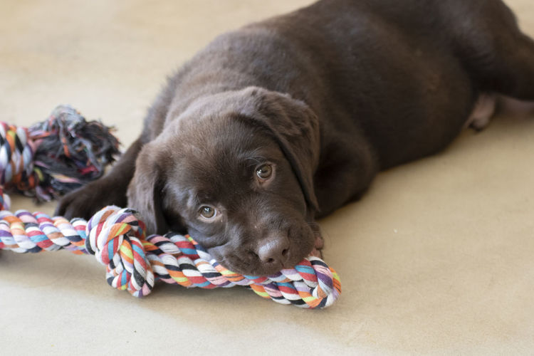 Close-up of puppy resting