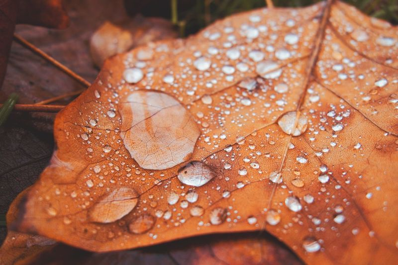 Close-up of raindrops on maple leaf