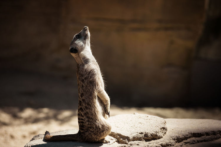 Close-Up Of Meerkat Sitting On Rock