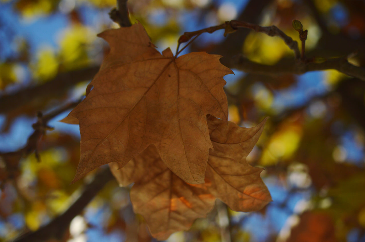 leaf, autumn, change, maple leaf, day, focus on foreground, dry, maple, outdoors, nature, close-up, selective focus, no people, branch, beauty in nature, tree