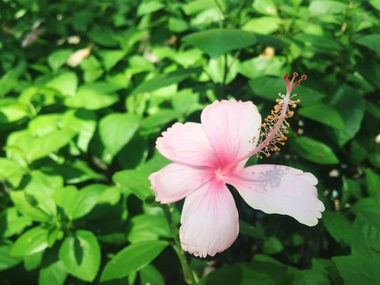 pinky flower Beauty In Nature Pink Color Pink Rose Focus On Foreground