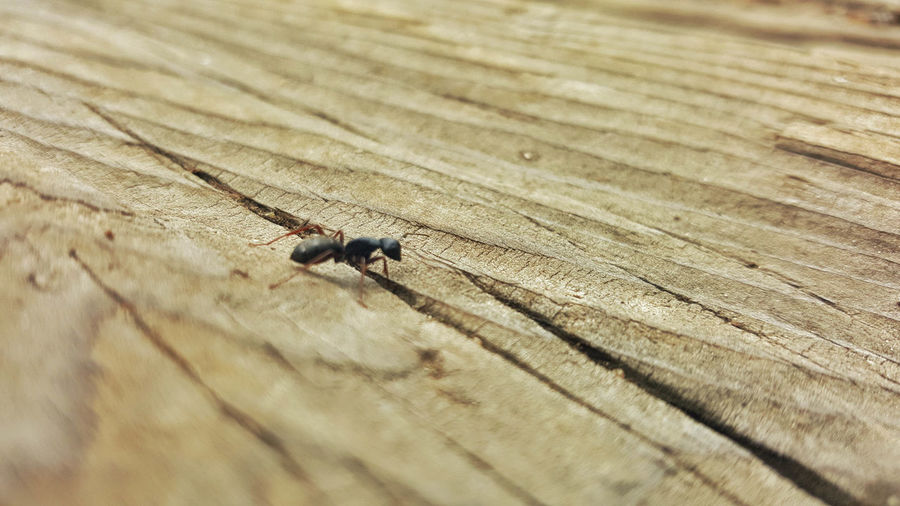 Animal Animal Themes Animal Wildlife Animal Wing Animals In The Wild Ant Close-up Day Emmet High Angle View Housefly Insect Invertebrate Nature No People One Animal Outdoors Pallet Truck Pismire Rough Selective Focus Textured  Wood - Material Zoology
