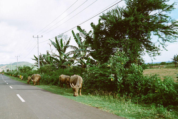 Cows graze near