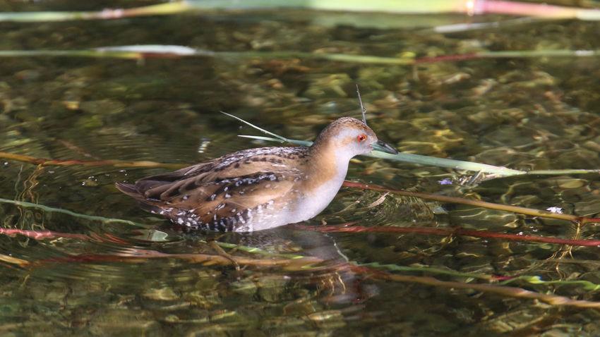 Baillon's Crake Bird Photography Birds Of Cyprus Cyprus Cyprus Nature Animal Themes Bird Birds Crake Nature Water Waterbirds